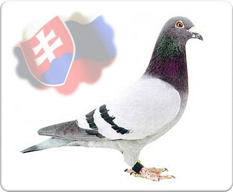 Racing pigeons have a long tradition in Slovakia